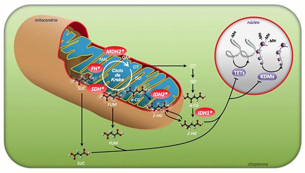 El gen 'MDH2', asociado a tumor neuroendocrino
