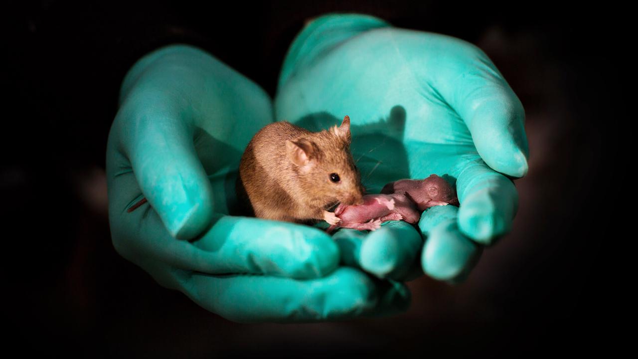 Reproducen una camada de ratones a partir de dos hembras ...