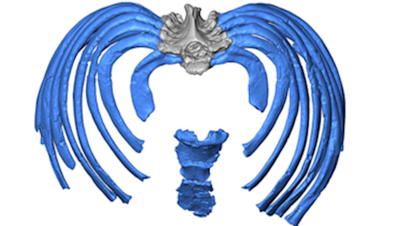 La reconstrucción virtual muestra como las costillas se unen a la columna vertebral hacia el interior, forzando una postura más erguida que la de los humanos modernos.