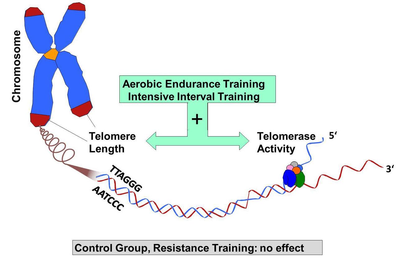 Efectos del entrenamiento aeróbico de intensidad y del ejercicio interválico de alta intensidad frente al ejercicio de musculación en la longitud de los telómeros.