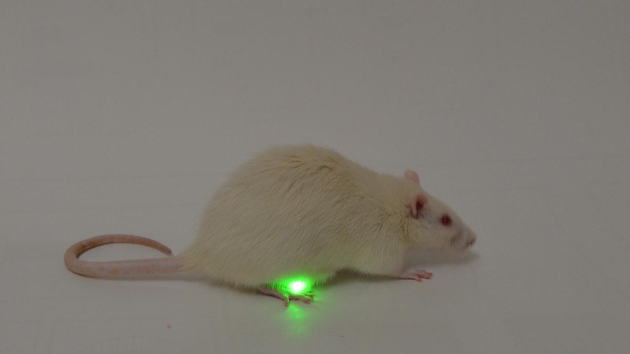 Las ratas toleraron bien el dispositivo.