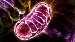 Imagen de una mitocondria.