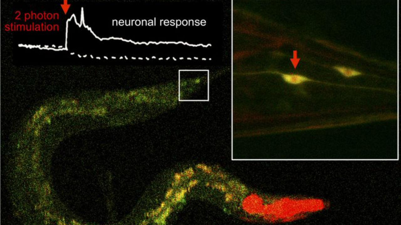 Control de la actividad de neuronas individuales de gusano mediante estimulación de dos fotones. En la imagen, una neurona de la cola del gusano (región cuadrada ampliada) se estimula con pulsos de luz infrarroja en presencia de la nueva molécula y se produce una respuesta de activación.