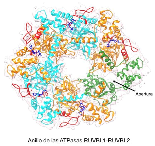 Anillo RUVBL1-RUVBL2. La flecha indica la zona que se abre para permitir la liberación del ADP
