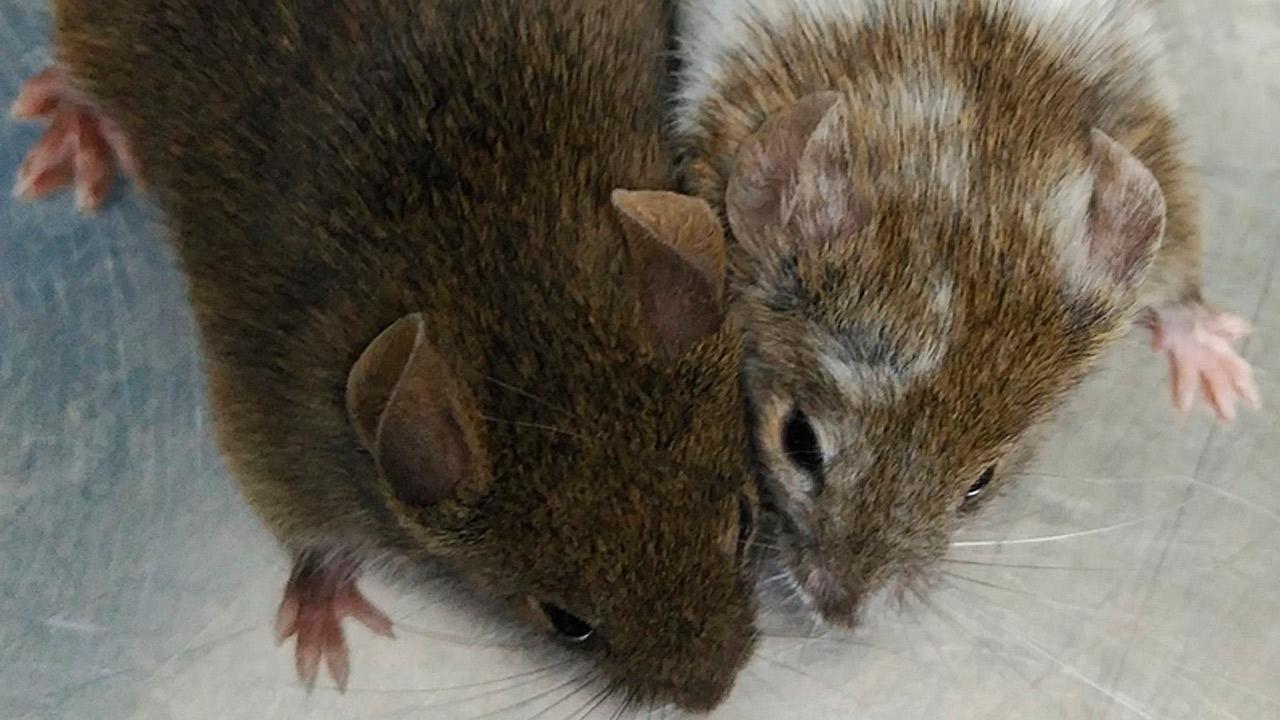 Estos ratones son hermanos y deberían ser los dos marrones, pero uno de ellos se ha modificado con la técnica CRISPR y de ahí el cambio de color.