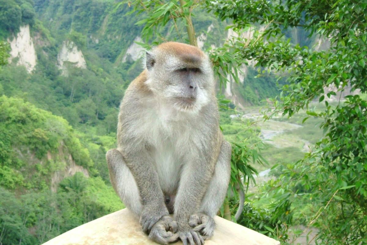 Un macaco cingulado.
