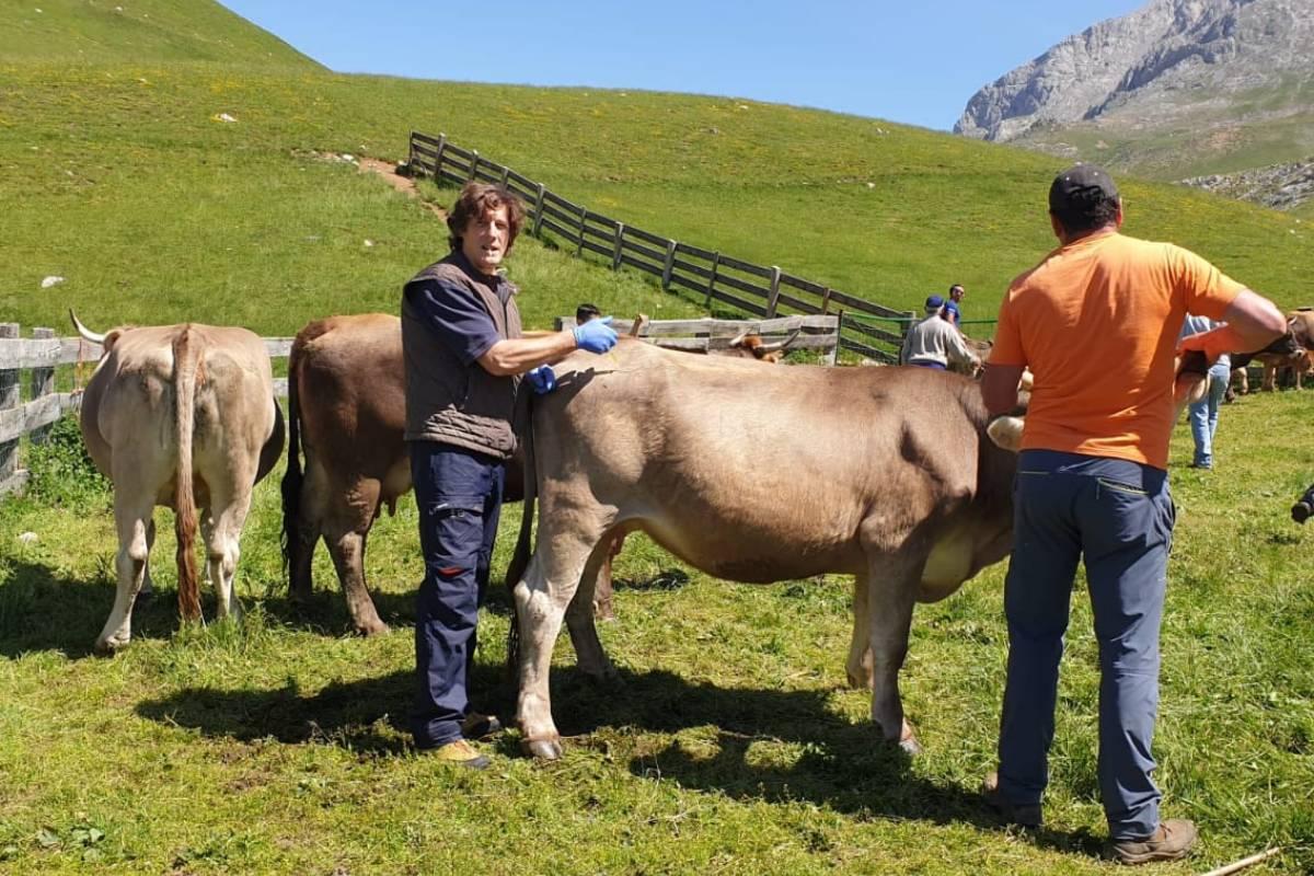 El veterinario Carlos Martínez, vacunando a una vaca en Cantabria.
