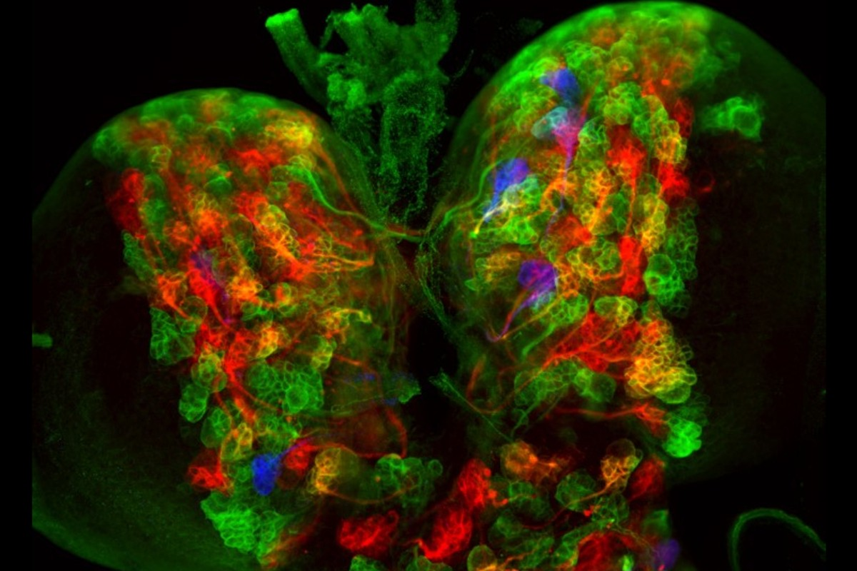 Imagen de fluorescencia de un cerebro de mosca marcado con CLADES. Cada familia de neuronas se marca con distintos colores