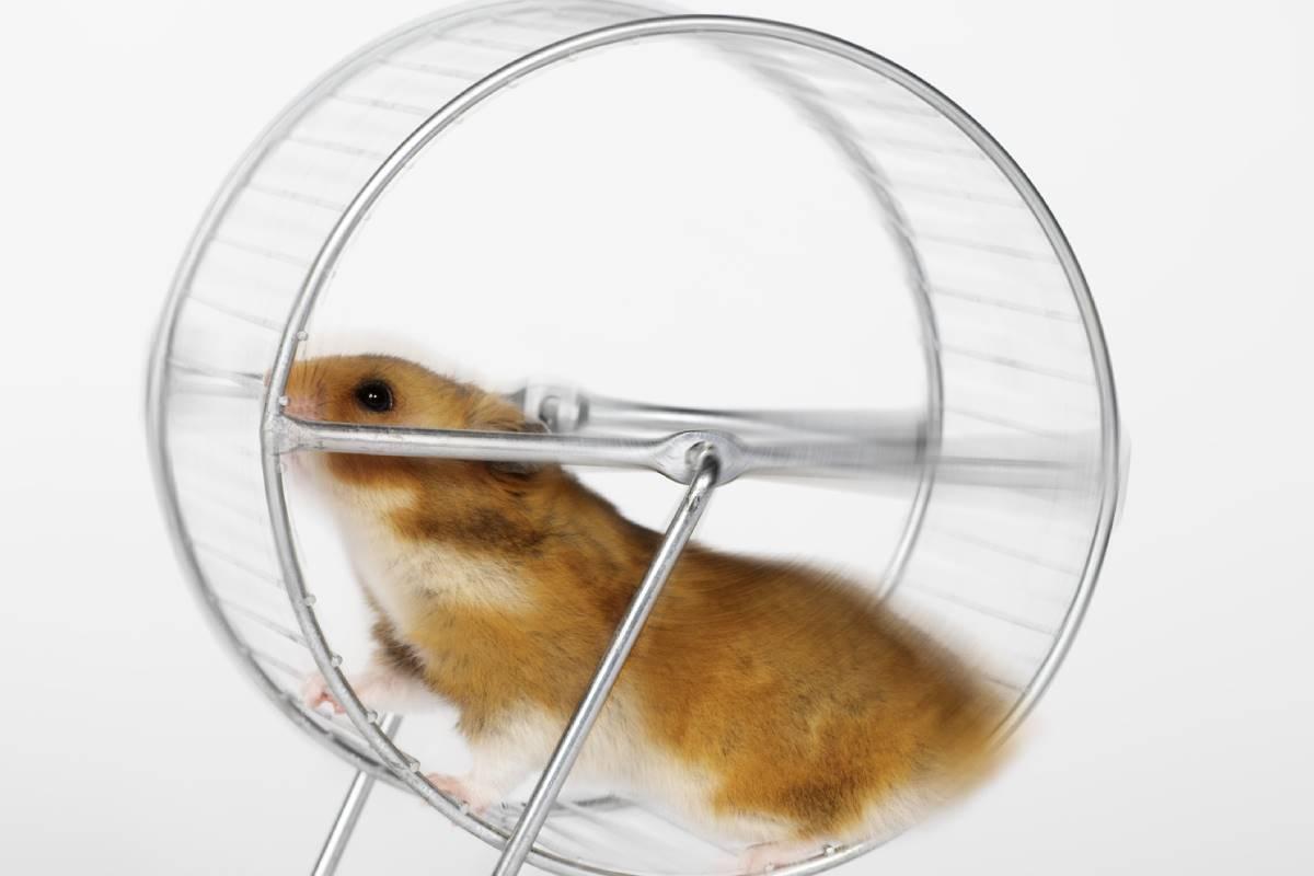 Ratón corriendo en una rueda.