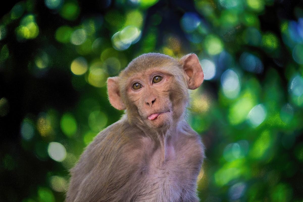 Macaco rhesus.