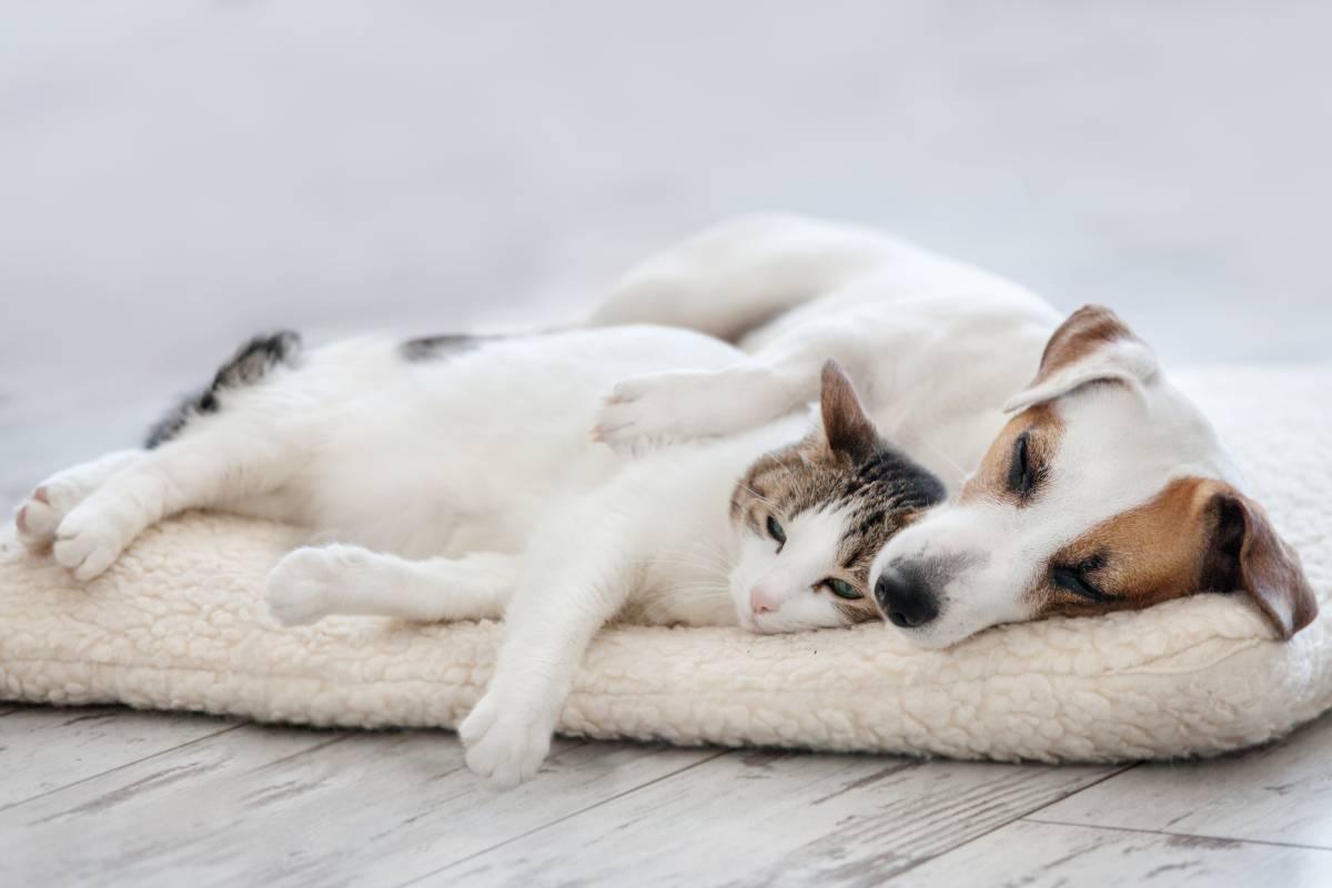 Los perros presentarían un incremento del riesgo de infección por su mayor contacto con el ser humano.