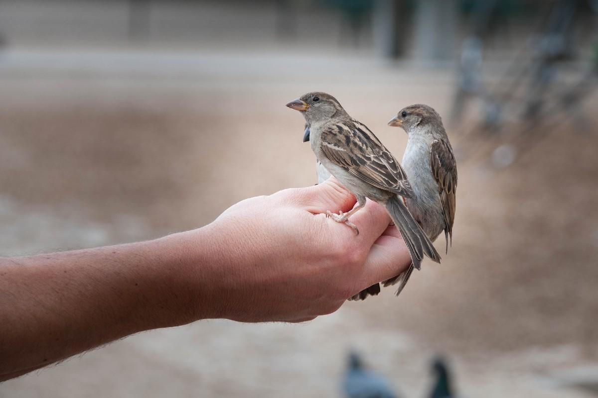 Dos gorriones posados en una mano.