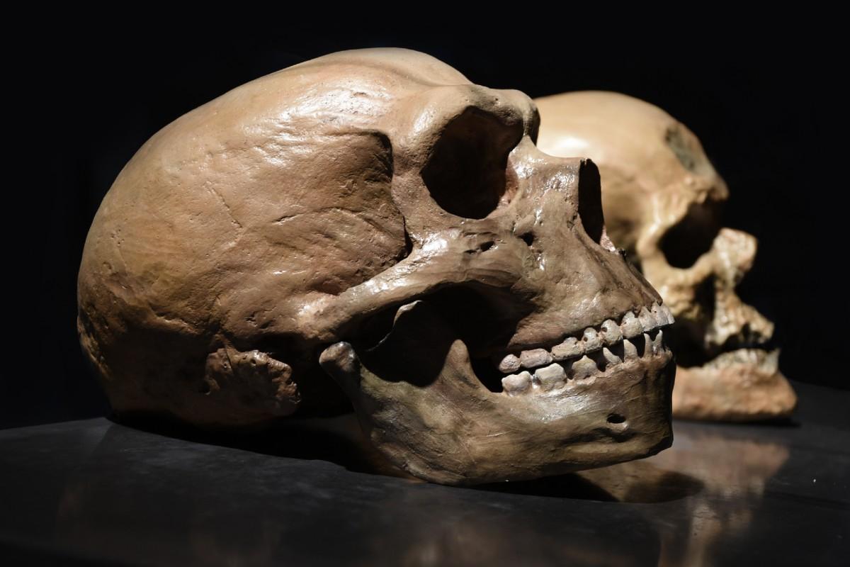 Cráneos de neandertal y 'Homo sapiens'.