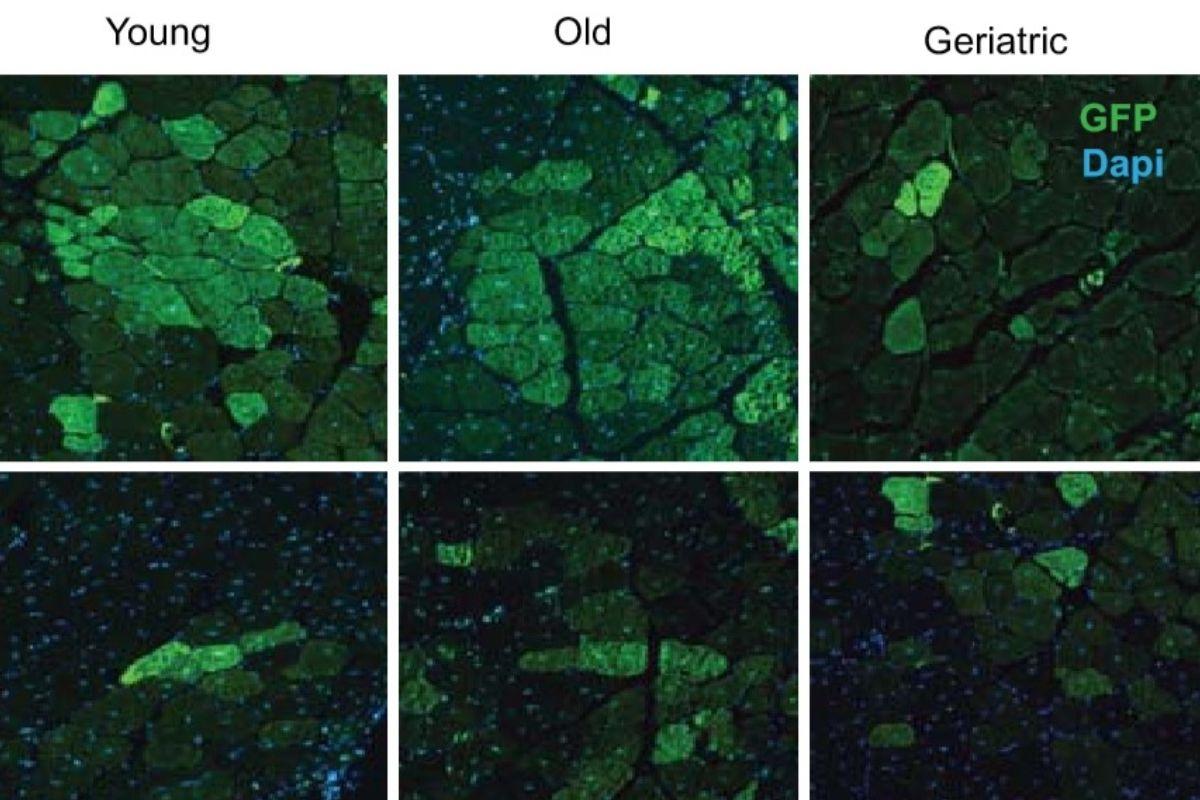 Comparación de células musculares en distintas etapas de la vida.