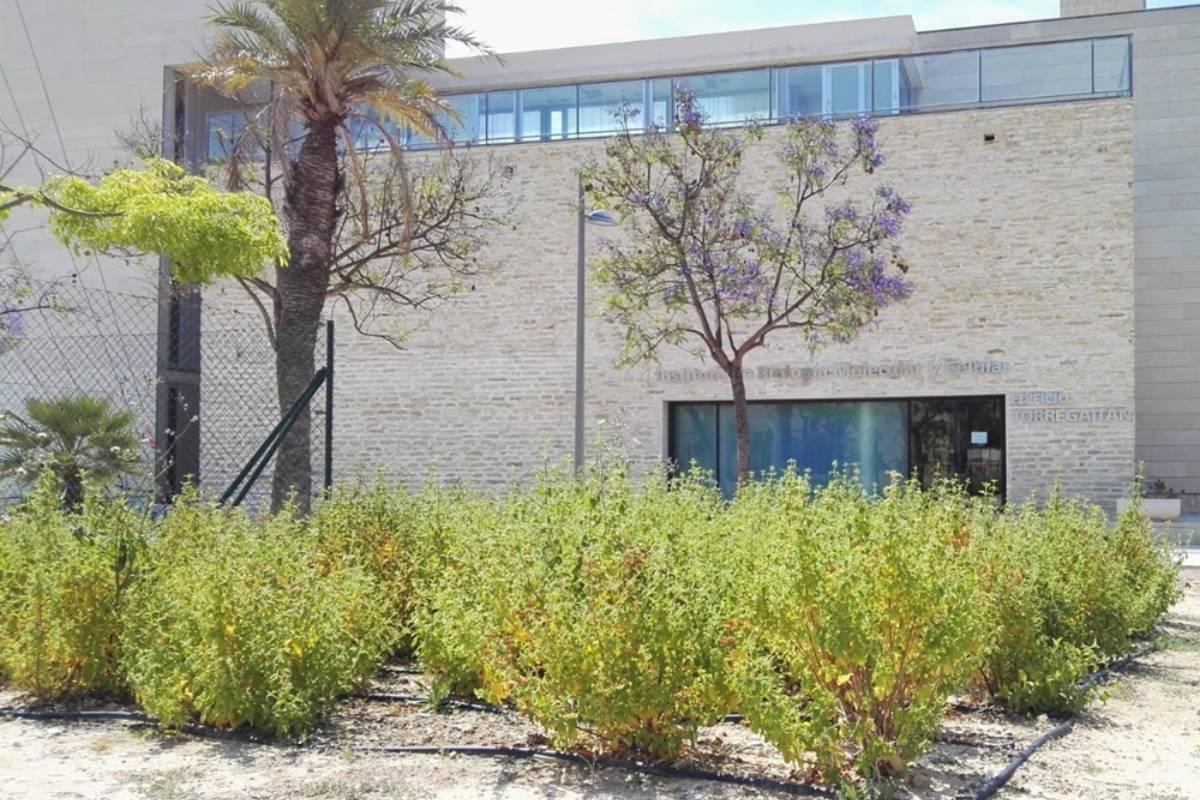 Cistus salviifolius junto al edificio Torregaitán, sede del IDiBE UMH, plantadas para la posterior realización de los ensayos del presente trabajo. Fuente: Francisco Javier Álvarez Martínez