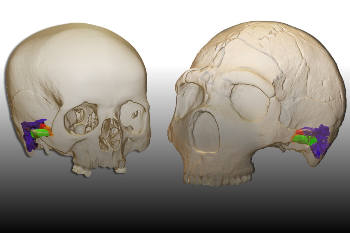 Sistema auditivo de humano y neandertal.