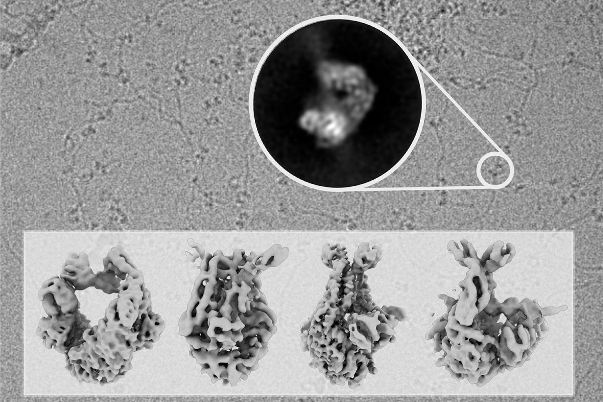 En el fondo de la imagen se muestra una fotografía tomada con el microscopio electrónico en la que se observan moléculas de ADN decoradas con moléculas de la proteína MutS, escaneando el ADN en busca de errores (el círculo central destaca una de ellas después del procesamiento de las imágenes). La parte inferior muestra las estructuras de MutS en diferentes fases del proceso de reparación resueltas en este trabajo. FOTO:CNIO.