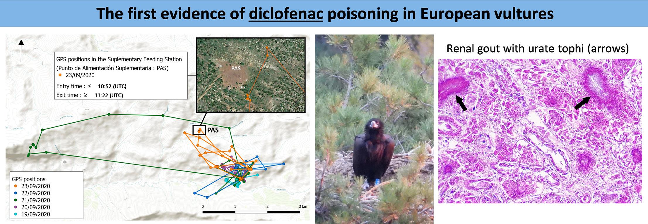 Primera evidencia en Europa, detectada en España, de envenenamiento por diclofenaco en buitres. /'Science of the Total Environment'.