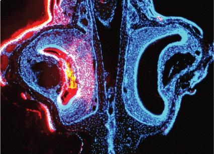 Órgano vomeronasal (encargado de la detección de las señales feromonales) del ratón.